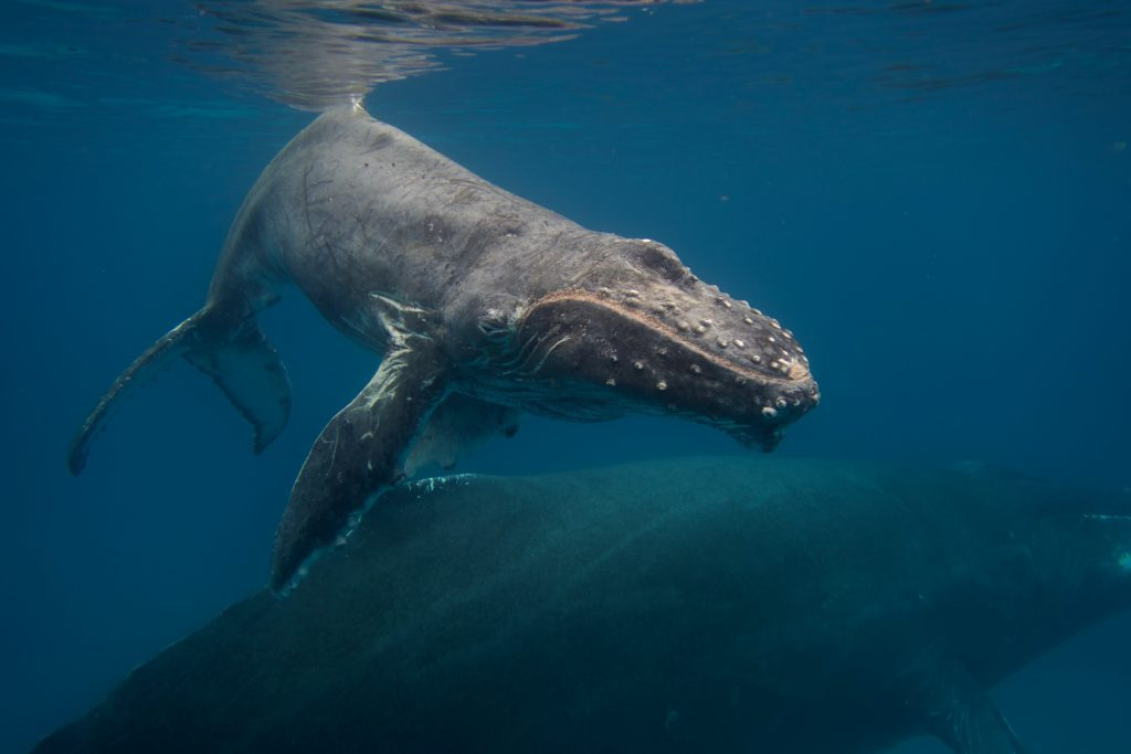 Whale watching in Salt Cay - The Strand Turks and Caicos